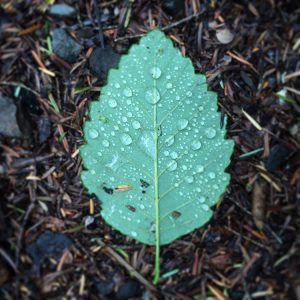Alder leaf in the rain