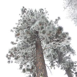 PNW amazing snowy pine